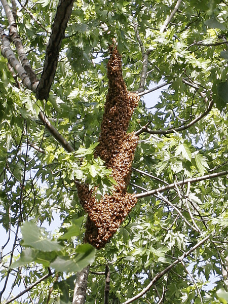 Sweet Hive Chicago Bee Swarm Spring 2012