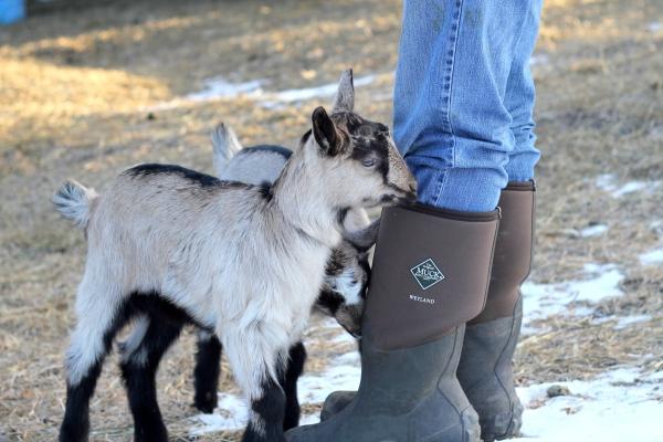 curious baby goats at Longview Farm
